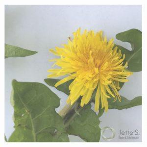 mælkebøtten med blade og gul blomst
